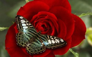 Beautiful-Flowers-and-Butterflies-Wallpapers-High-Definition