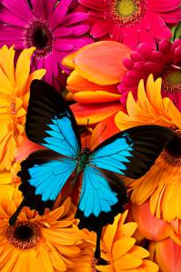 blue-butterfly-on-brightly-colored-flowers-garry-gay