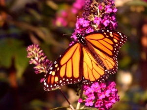 draft_lens9167891module82329231photo_1264980493monarch-butterfly-bush-fl