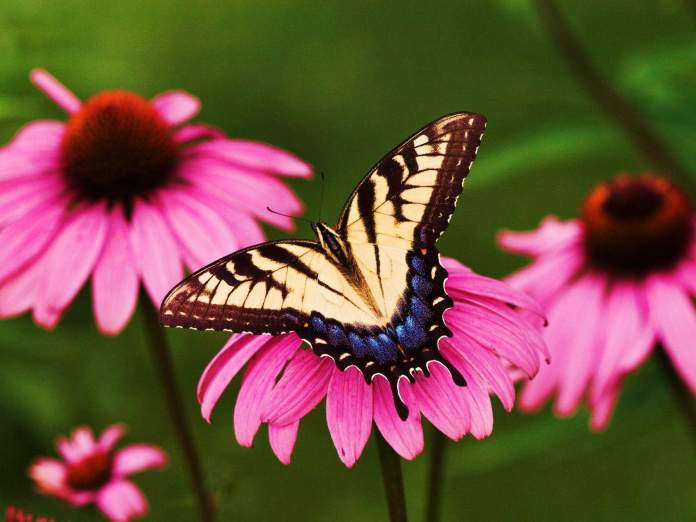 Flowers-butterfly-natural-beauty-desktop-wallpapers.-1