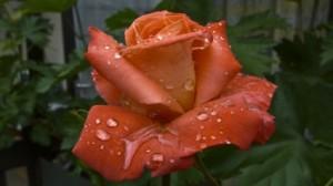 raindrop_rose_after_the_rain_236735