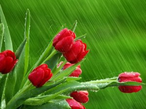 red_tulips_in_the_rain.preview